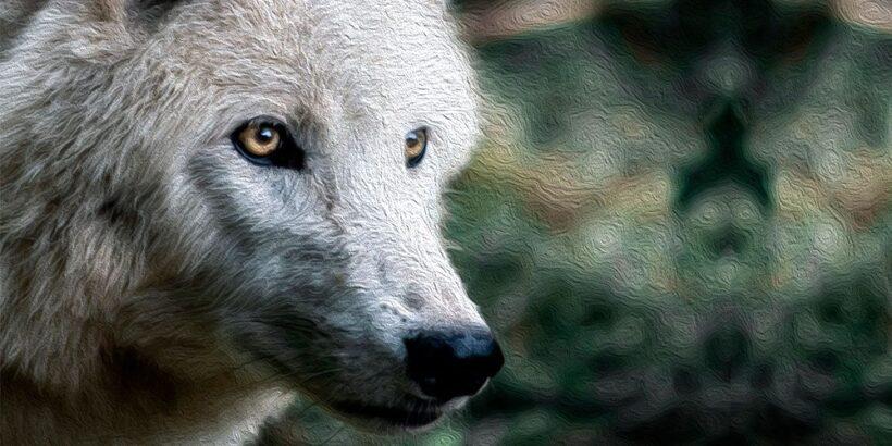El lobo blanco, un cuento de hadas para niños