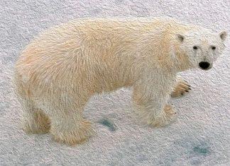 Por qué los osos polares tienen la cola corta, una leyenda escandinava